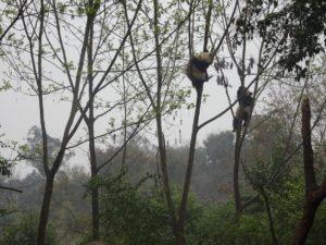 pandas climbing up a tree