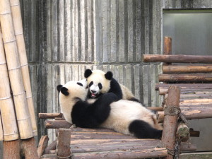 InternChina - Giant Pandas in Chengdu