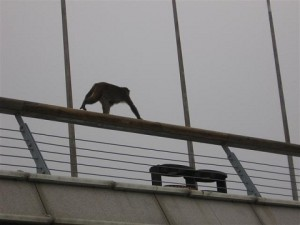 InternChina-Monkey-Running-Free-At-Qingdao-Pier