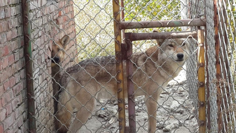 InternChina - wolves!