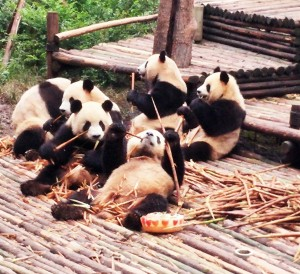 InternChina Chengdu Panda Base