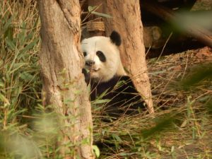 Seeing pandas at the Chengdu panda research base