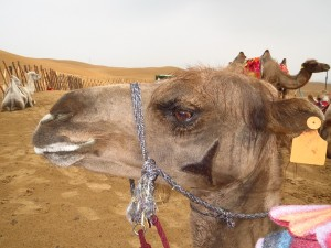 InternChina - Riding Camels in the desert